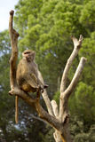 Baviaan die op een boom situeert Royalty-vrije Stock Afbeeldingen