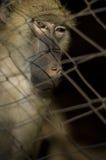 Baviaan in gevangenschap stock foto