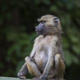 Baviaan - het Nationale Park van Tarangire - het Wildreserve in Tanzania, stock foto