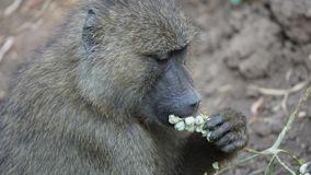 Baviaan, Manyara-park, Tanzania stock afbeeldingen