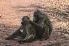 Baviaan in Tanzania stock afbeelding