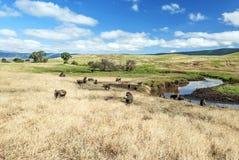 Bavianen in de prairie van Tanzania royalty-vrije stock afbeeldingen