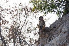 bavianen in de savanne in Namibië royalty-vrije stock afbeeldingen