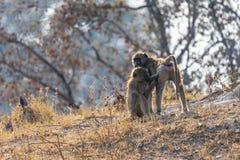 bavianen in de savanne in Namibië stock fotografie