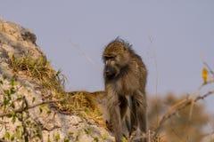 bavianen in de savanne in Namibië stock foto