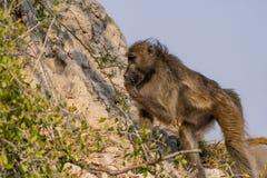 bavianen in de savanne in Namibië royalty-vrije stock afbeelding