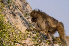 bavianen in de savanne in Namibië stock foto's