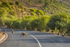 Bavianen op de weg in Tanzania royalty-vrije stock afbeeldingen