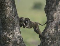Bavianen op een boom in Masai Mara National Park royalty-vrije stock foto's