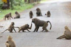 Bavianen op weg in Kenia stock foto's