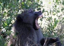 Bavianen in Zuid-Afrika royalty-vrije stock afbeelding