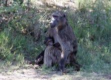Bavianen in Zuid-Afrika stock foto's