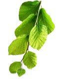 Bavure d'arbre de hêtre avec le feuillage avec des baisses Photos libres de droits