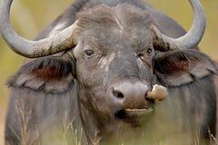 bawół afrykańskiej zdjęcie stock