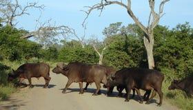 bawół afrykańskiej Obrazy Stock