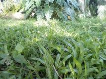 Bawół domowy trawa Obraz Royalty Free