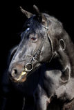 Bawarski czarny koński depresja klucza studia portret Zdjęcie Royalty Free
