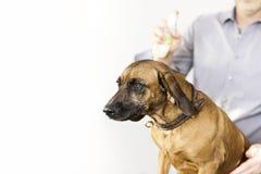 Bawarski spawu pies przy psim salonem Fotografia Stock
