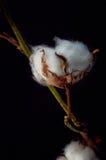 bawełna obrazy stock