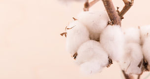Bawełna kwiaty, gałąź z kolor bawełny tłem Zdjęcie Royalty Free