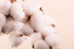 Bawełna kwitnie na beżowym tle Zdjęcia Stock