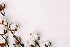 Bawełna kwitnie na białym tle zdjęcia royalty free