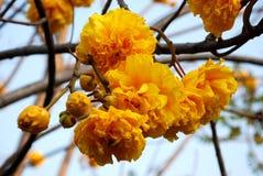 Bawełniana drzewna masło filiżanka Zdjęcia Stock