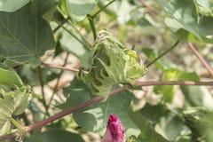 Bawełniana roślina, bawełna pączki Obraz Stock