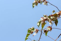 bawełniana roślina gotowa zbierać bielu pole zdjęcia stock