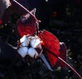 Bawełniana roślina z swój ochronnego boll otwartym seansem bawełna gdy ono r z czerwienią le - Gossypium w ślaz rodziny Malvaceae Zdjęcie Stock