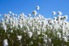 bawełniana trawa Obraz Stock