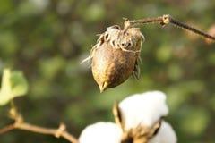 bawełniana zbliżenie roślina Zdjęcie Royalty Free