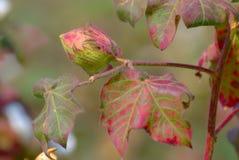 Bawełniany Boll i roślina Zdjęcie Royalty Free