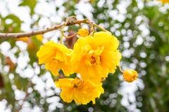 Bawełniany drzewo, Żółta Jedwabnicza bawełna, masło filiżanki kwiat Zdjęcia Royalty Free
