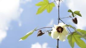 Bawełniany kwiat z chmurami Obrazy Royalty Free