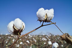 bawełny pole Zdjęcie Stock
