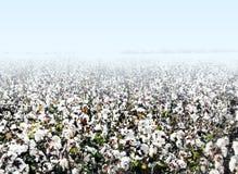 Bawełny pole Zdjęcia Stock