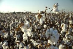 Bawełny pole z bawełną kwitnie gotowego dla zbierać zdjęcie stock