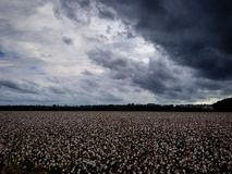 Bawełien pola i burz chmury fotografia royalty free