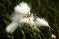 Bawełnianej trawy kwiaty, Norwegia Zdjęcia Royalty Free