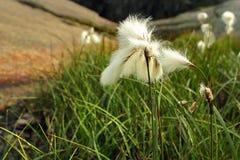 Bawełnianej trawy kwiaty, Norwegia Obrazy Stock
