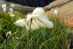 Bawełnianej trawy kwiaty, Norwegia Obraz Stock