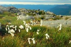 Bawełnianej trawy kwiaty, Norwegia Naturalny scandinavian krajobraz Obraz Royalty Free