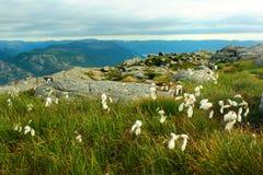 Bawełnianej trawy kwiaty, Norwegia Naturalny scandinavian krajobraz Zdjęcia Stock