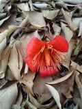 Bawełniany drzewo Zdjęcia Royalty Free
