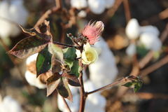 Bawełniany kwiat Zdjęcia Royalty Free