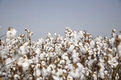 bawełny pole Fotografia Royalty Free