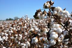 bawełny pole Zdjęcie Royalty Free