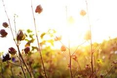 Bawełny pole Podczas zmierzchu HDR wizerunku Fotografia Royalty Free