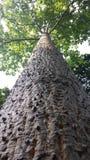 Bawełniany drzewo Fotografia Stock